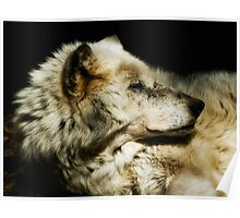 Grey Wolf Resting Poster