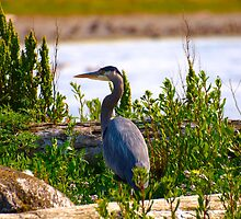 great blue heron by Ryan Dronsfield
