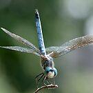 Dragonfly by okcandids