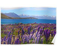 Lake Tekapo and wild flowering lupins Poster