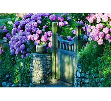 Hydrangeas At The Gate Photographic Print