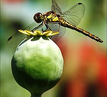 Dragon Fly. by Janone
