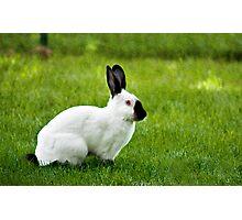 Himalayan rabbit Photographic Print