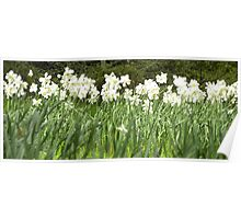 Field of Daffs Poster