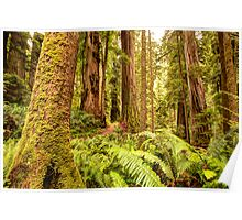 Deep Forest Redwoods Poster