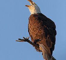 Bald Eagle at Sunset by William C. Gladish, World Design