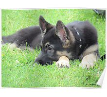 German Shepheard Puppy Poster
