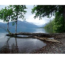 Fallen Aspen, Lake McDonald - Glacier National Park, MT Photographic Print
