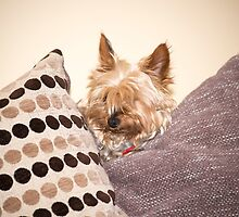 mini yorkie dog  between the cushions by morrbyte
