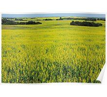 Golden Canola Field Poster
