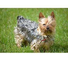 mini yorkie dog on the grass Photographic Print
