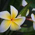 White and Yellow Plumaria by Shaun  Gabrielli