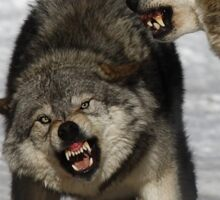 Back off! - Timber Wolf Sticker