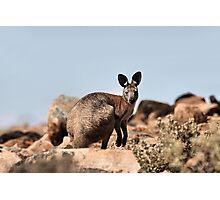 Western Grey Kangaroo Photographic Print
