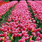 Tasmania, Tulips by photoj