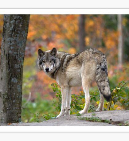 Timber Wolf Sticker