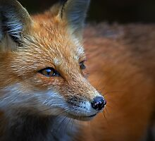 Algonquin Fox, Algonquin Park, Canada by Jim Cumming