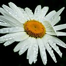 White Daisy by Moonlake