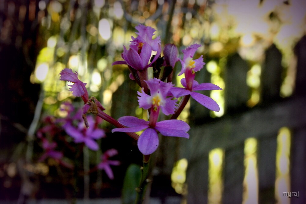 Tiny Orchids and a Picket Fence by myraj