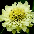 Zinnia by Moonlake