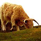 Highland Coo by Pamela Rose Sime