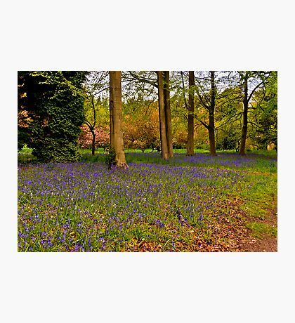 Down in Bluebell Wood Photographic Print