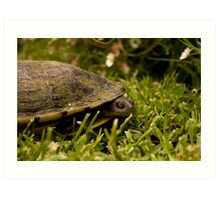 Peeking Tortoise Art Print