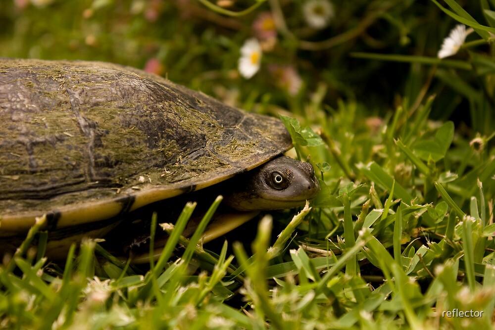 Peeking Tortoise by reflector