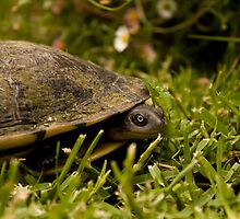 Peeking Tortoise by reflector