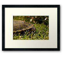 Peeking Tortoise Framed Print