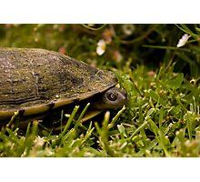 Peeking Tortoise Photographic Print