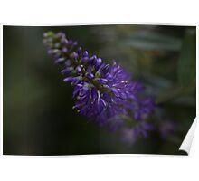 Purple Hebe Poster