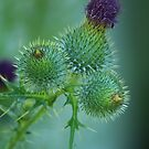 Prickly Bracts by karina5