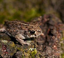 Natterjack Toad  by César Torres