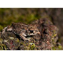 Natterjack Toad  Photographic Print