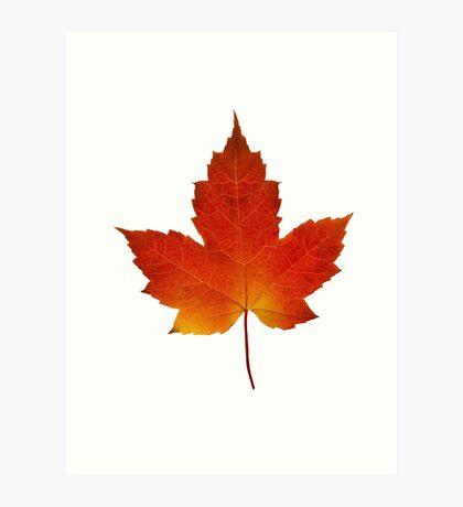 Maple Leaf - Algonquin Park, Canada Art Print