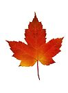 Maple Leaf - Algonquin Park, Canada by Jim Cumming