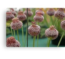 Allium Forelock at the RHS Hampton Court Palace flower show 2012 Canvas Print