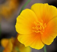 California Poppy in Texas by aprilann