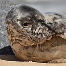 Peek-A-Boo Seal by Patricia Jacobs DPAGB LRPS BPE4
