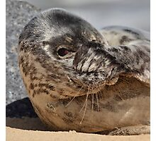 Peek-A-Boo Seal Photographic Print
