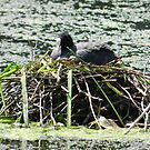 Dedicated Coot! by weecritter
