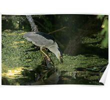 Black Capped Heron - Ottawa Poster