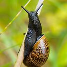 Snail on straw by Arve Bettum