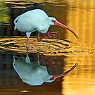 White ibis reflections by jozi1