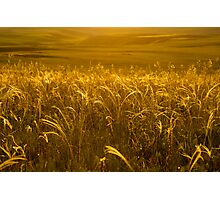 Grass of gold Photographic Print