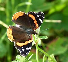 A Pretty Butterfly by MaeBelle