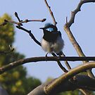 Blue Wren by Marilyn Harris