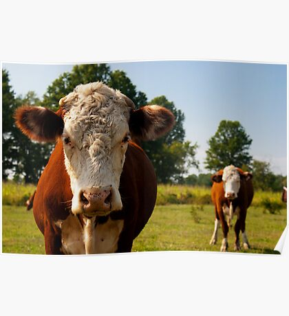 Two curious cows Poster
