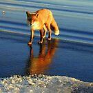 Australia, Fox Having A Dip! by photoj